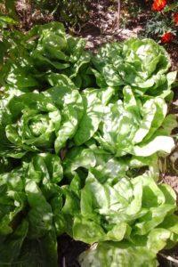Salades dans le potager.