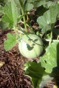Melon dans le potager.