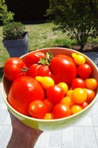 Récolte de tomates du jardin.