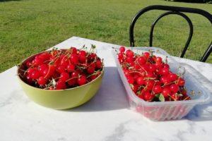 Récolte de cerises