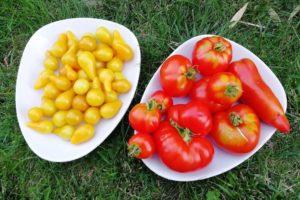 Assiettes avec des tomates jaunes et tomates rouges du jardin