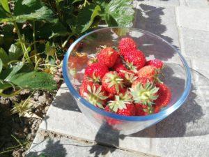 Saladier de fraises du jardin