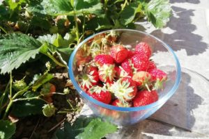 Saladier de fraises