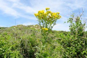 Fleur jaune dans les dunes