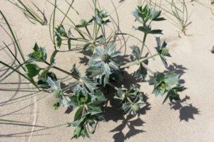 Espèce végétale sur le circuit de la dune Marchand à Zuydcoote