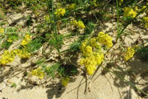 Espèce végétale de la dune Marchand à Zuydcoote