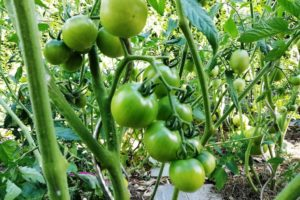 Tomates vertes dans le potager