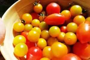 Récolte de tomates du jardin