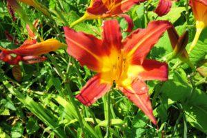 Fleur des jardins du château d'Hardelot